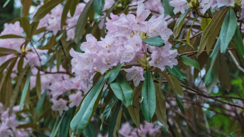 Alabama rhododendron