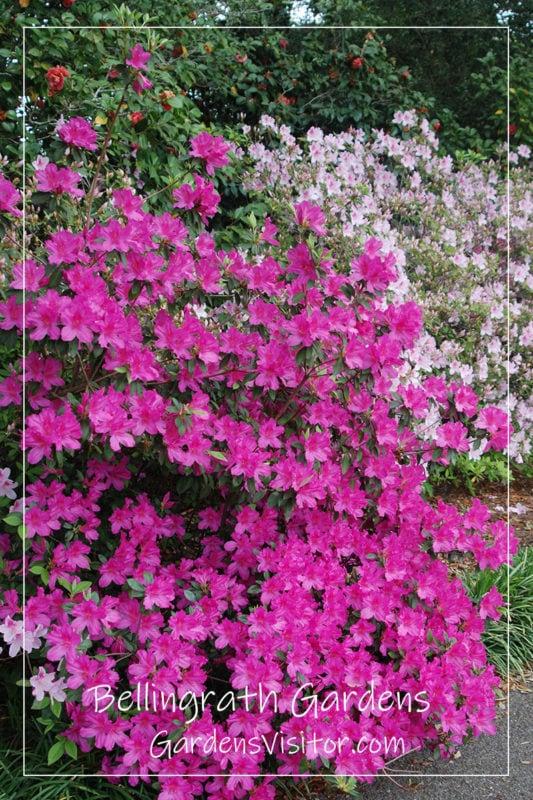 Bellingrath Gardens azaleas