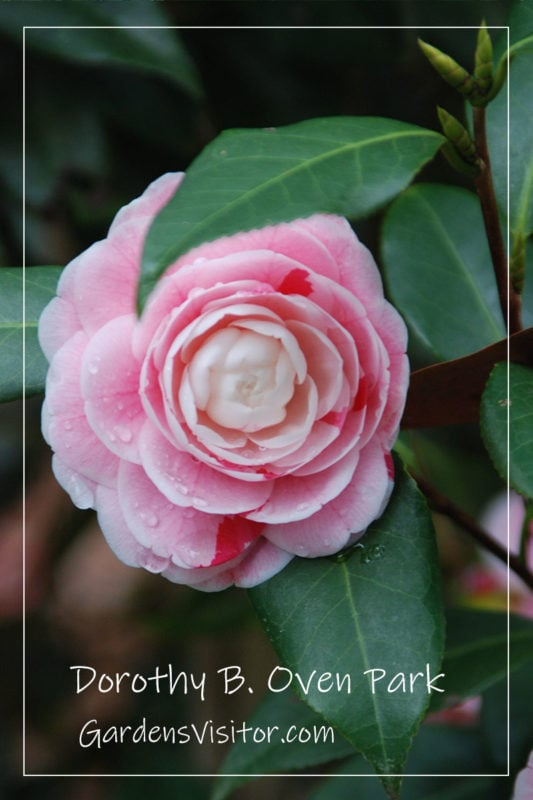 camellia at Dorothy Oven Park
