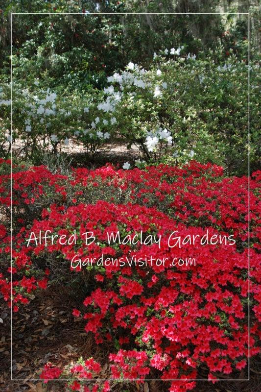 Azaleas at MacLay Gardens