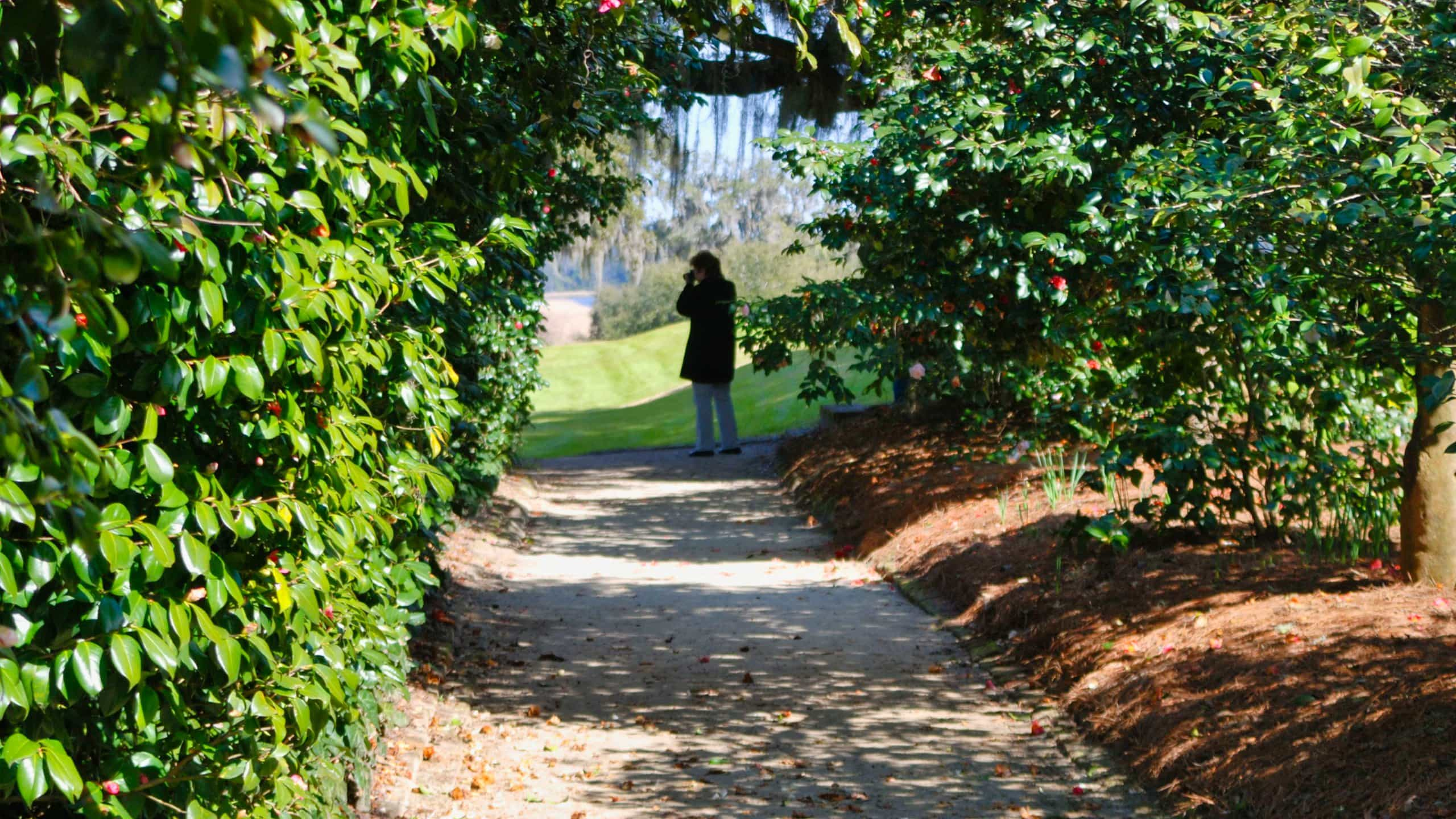 Camellia allee, Middleton Place
