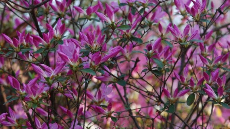 Azaleas at Glencairn Garden