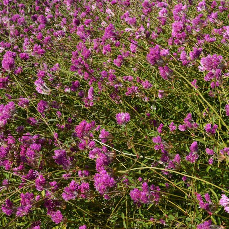 Prairie clover Amarillo Texas