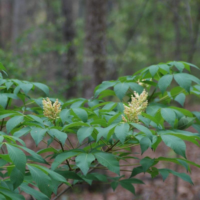 Buckeye at Birmingham Botanical Gardens, AL