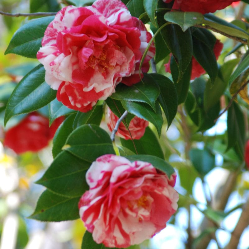 Camellias at Dorothy Oven Park