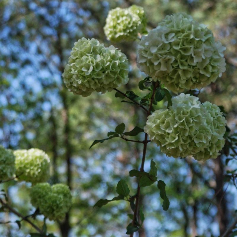 Hydrangea at Dothan Area Botanical Gardens, AL