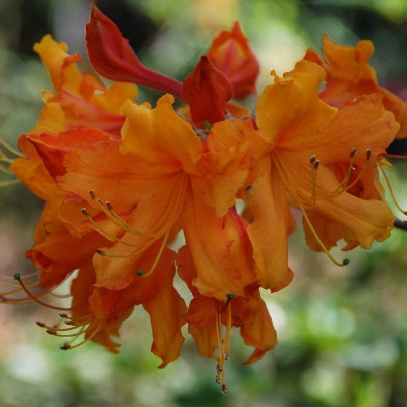 Flame azalea Mobile Botanical Gardens