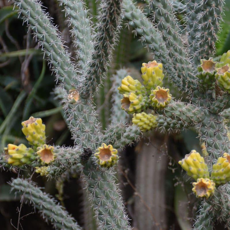 Cactus at Capitol Park Arboretum, CA