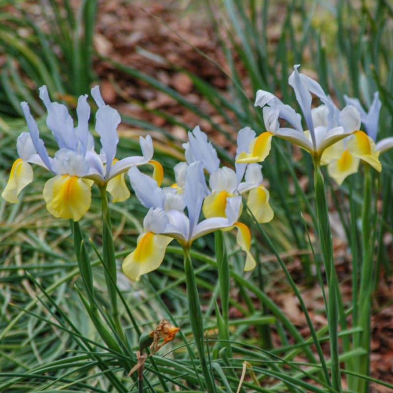 Iris at Greenfield Lake Park
