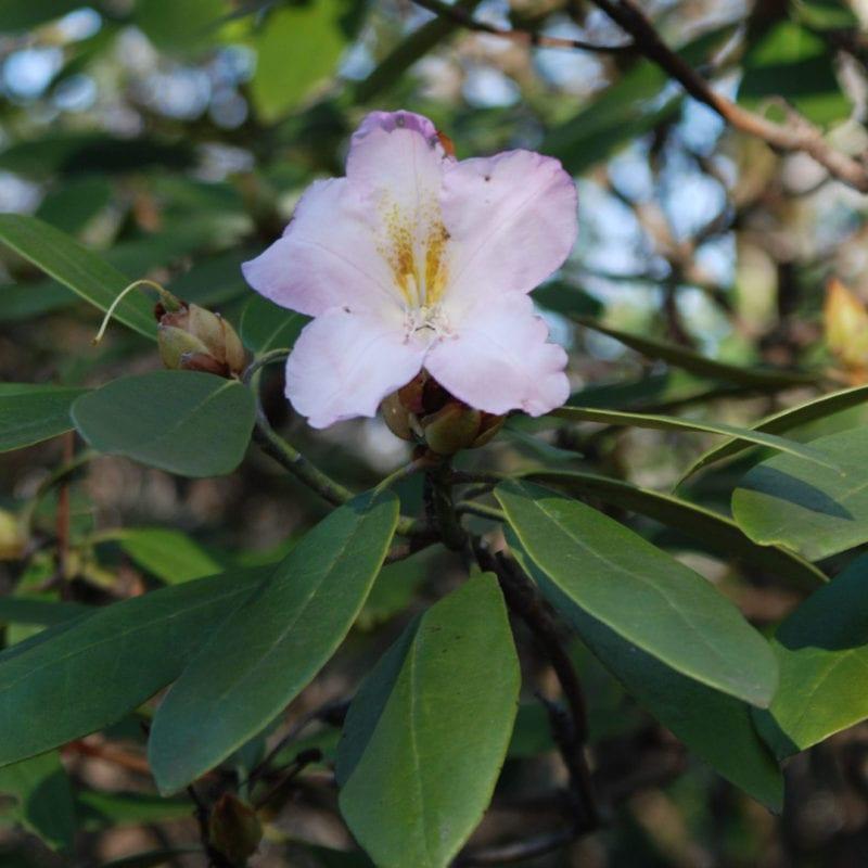 Rhododendron at Hamilton Gardens