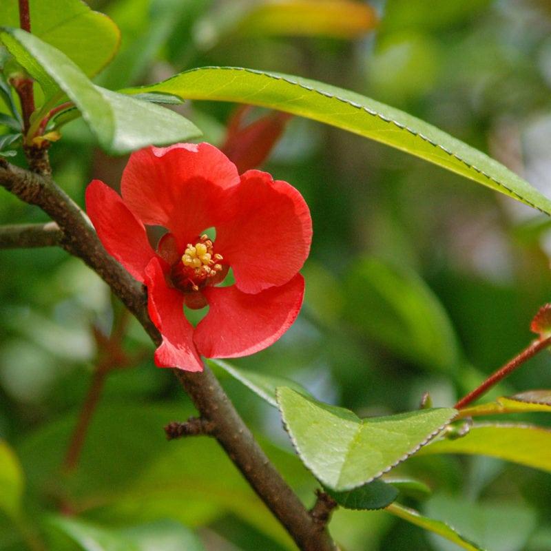 Camellia at Hugh MacRae Park