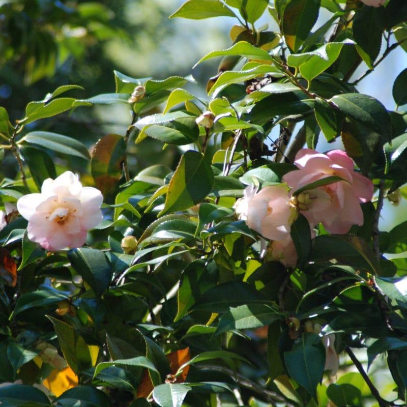 Camellia at Barnsley Gardens