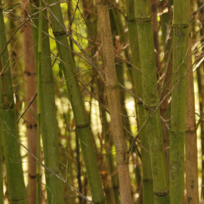 Bamboo at Coastal Georgia Botanical Gardens