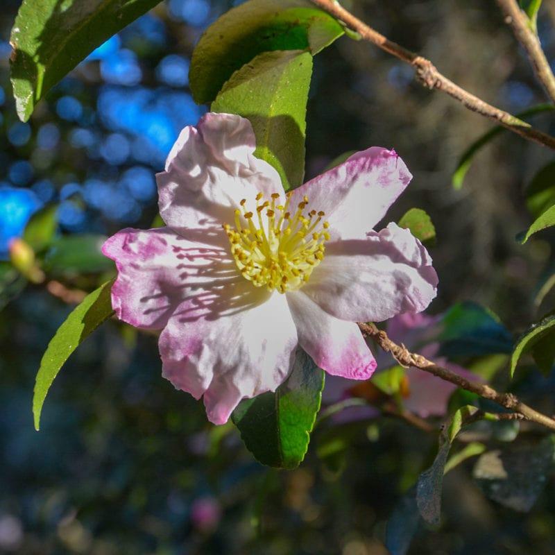 Camellia at Jungle Gardens